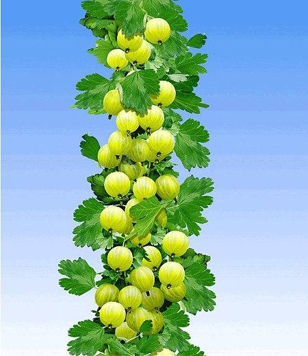 Gelbe Säulen-Stachelbeere,1 Pflanze