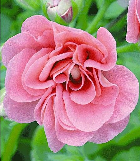 "Geranien PAC ""Pink Sybil®"",3 Pflanzen Pelargonium peltatum"