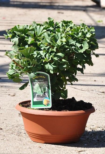 Ginkgo (Fächerblattbaum, Mädchenhaarbaum)