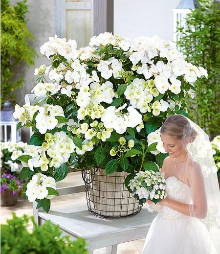 "Girlanden-Hortensie ""Runaway Bride®"",1 Pflanze"
