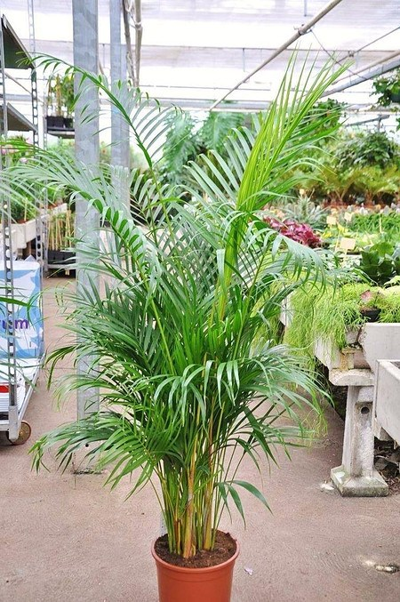 Goldfruchtpalme - Areca - Dypsis lutescens