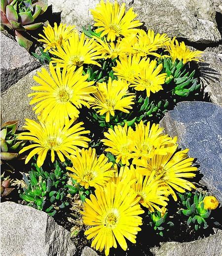 Goldtaler,2 Pflanzen