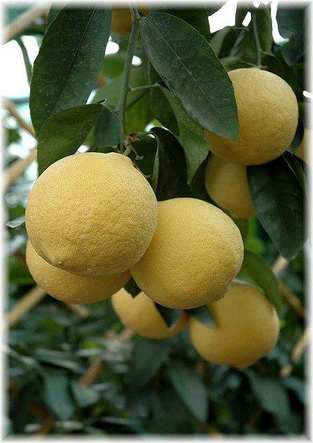 Grapefruit Citrus paradisi ´Marsh Seedless`