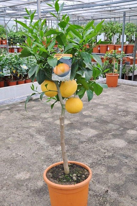 Grapefruit (Pampelmuse, Pomelo) Citrus paradisi Rosa