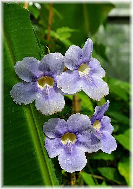 Grossblütige Himmelsblume Thunbergia grandiflora