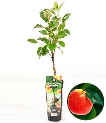 """Guaran Trees® Apfel """"Elstar"""",1Pflanze"""