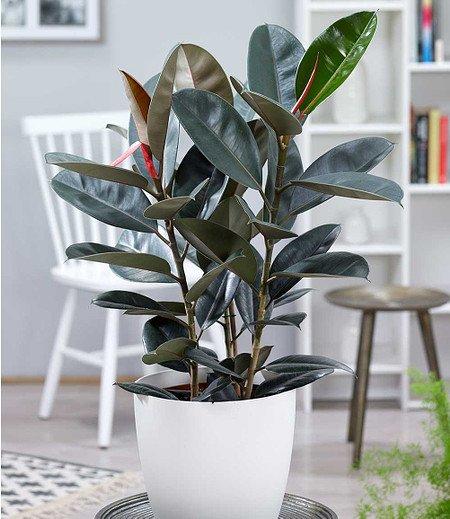 "Gummibaum ""Abidjan"" ca 60 cmhoch,1 Pflanze"