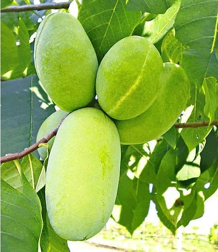 HÄBERLI'S Indianer-Banane® Prima®- veredelte Sorte,1 Pflanze