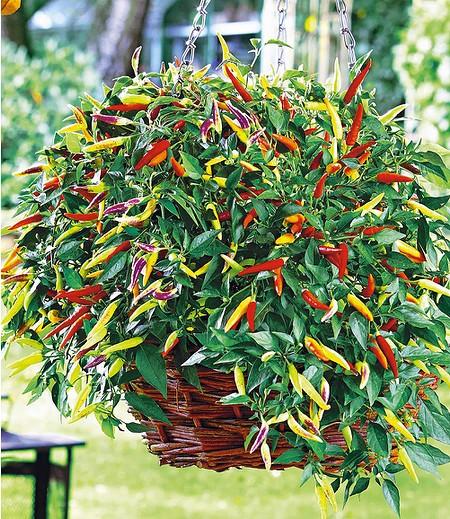 "Hänge-Chili ""Volante® Hot Red""2 Pflanzen Capsicum"