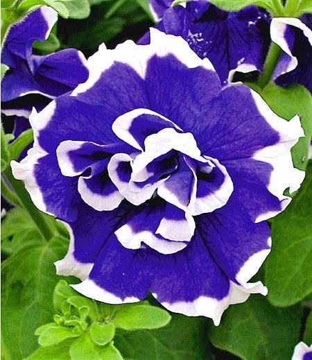 """Hänge-Petunie """"Bavaria Bell®"""",3 Pflanzen Petunia blau mit weiß"""