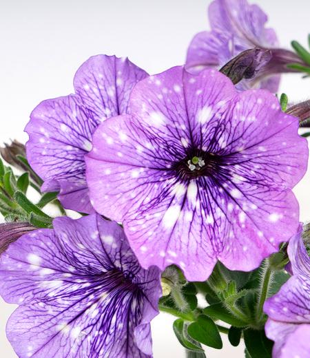 """Hänge-Petunie Hellviolette """"LavenderSKY®"""",3 Pflanzen"""