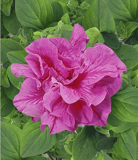 """Hänge-Petunien """"Viva®"""" doppelt-pink,3 Pflanzen Petunia"""