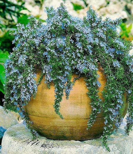 "Hänge-Rosmarin ""Capri"",3 Pflanzen"
