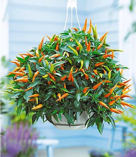 "Hänge-Snack-Paprika ""Delipap"",2 Pflanzen"