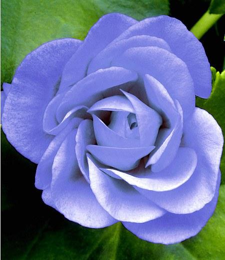 "Hängende Geranie PAC ""Blue Sybil®"",3 Pflanzen Pelargonium peltatum"