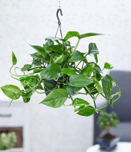 Hängepflanze Efeutute,1 Pflanze