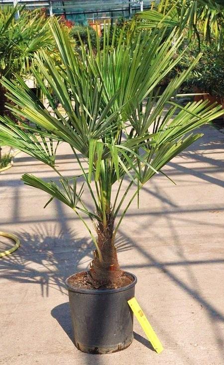 Hanfpalme (Fortunei) winterhart - Trachycarpus fortunei