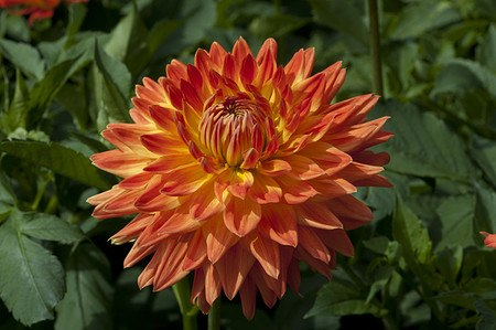 Hapet® Bonfire - Grossblumige dekorative Dahlie