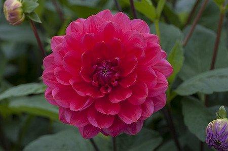 Hapet® Pink Lady - Seerosendahlie