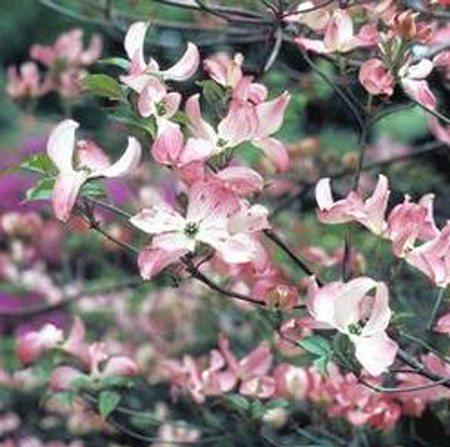 Hartriegel, Blumenhartriegel 'Rubra'