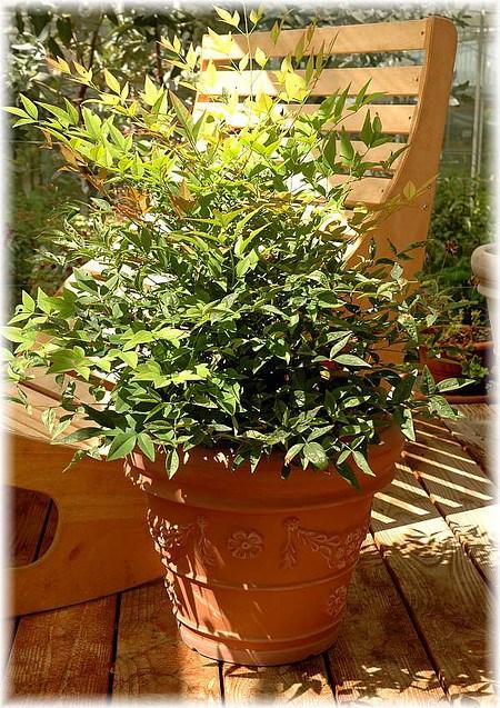 Heiliger Bambus Nandina domestica