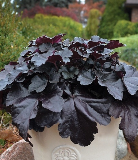 "Heuchera ""Black Pearl"",1 Pflanze"