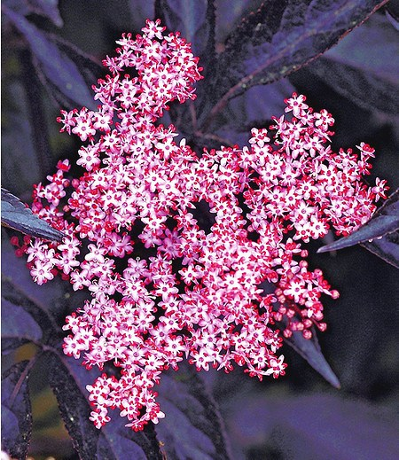 "Holunder Sambucus nigra ""Thundercloud"",1 Pflanze"