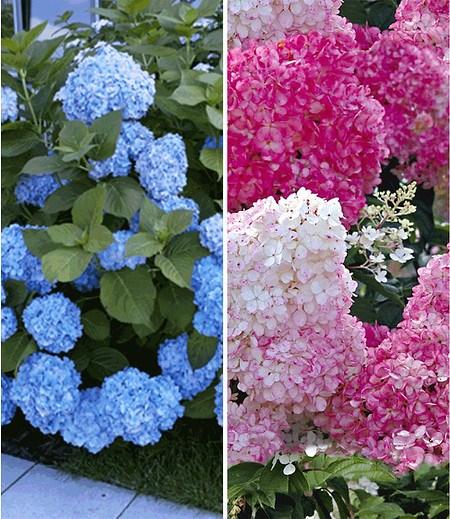 Hortensien-Sortiment zum Vorteilspreis,2 Pflanzen