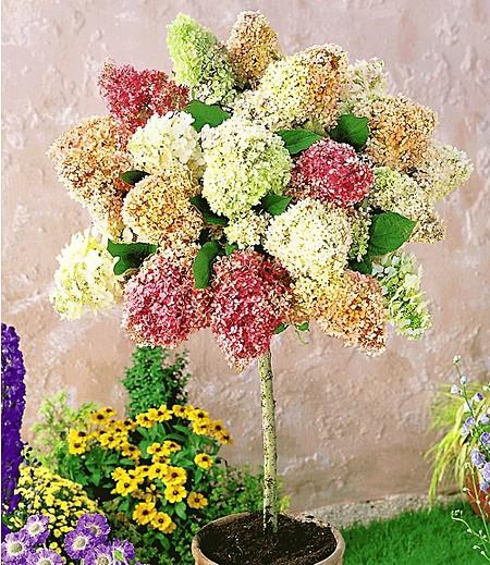 """Hortensien-Stämmchen """"Grandiflora"""",1 Pflanze"""