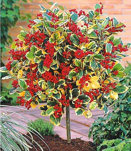 """Ilex-Stämmchen """"Golden King"""",1 Pflanze"""
