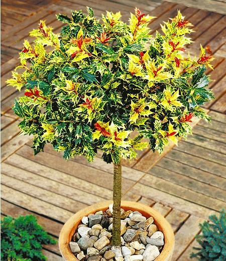 Immergrün Osmanthus-StämmchenDuftblüte, 1 Pflanze