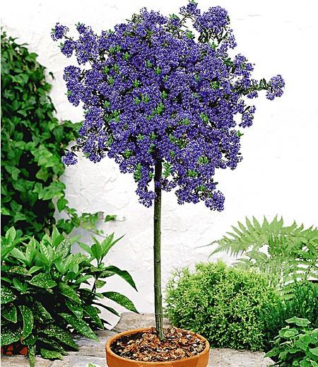 Immergrüne Säckelblume Ceanothus-Stämmchen 'Blue Mound', 1 Pflanze