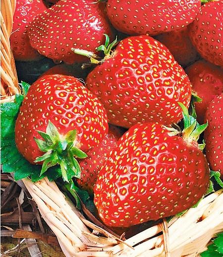 """Immertragende Erdbeere """"Seascape®"""",6 Pflanzen"""