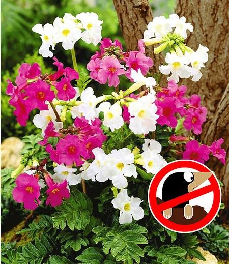Incarvillea Blüten-Mix,3 Pflanzen