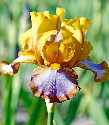 "Iris ""Brown Lasso"",3 St."