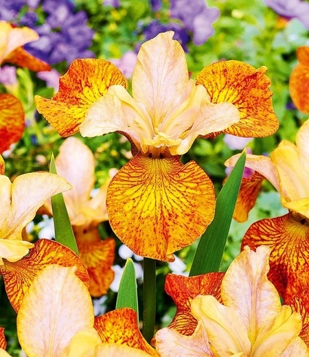 "Iris ""Peacock Butterfly® Ginger Twist"",1 Knolle"