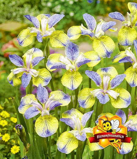 """Iris """"Tipped in Blue"""",1 Knolle"""