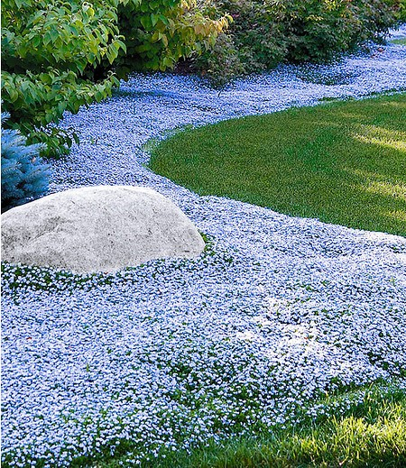 Isotoma 'Blue Foot'®, 3 Pflanzen
