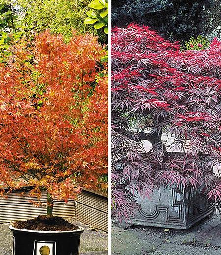 Japanische Ahorn-Kollektion,2 Pflanzen