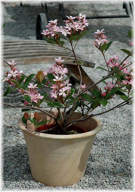 Japanische Weißdolde Rhaphiolepis indica ´Springtime`