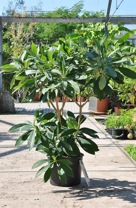 Japanischer Papierbusch - Edgeworthia chrysantha Grandiflora