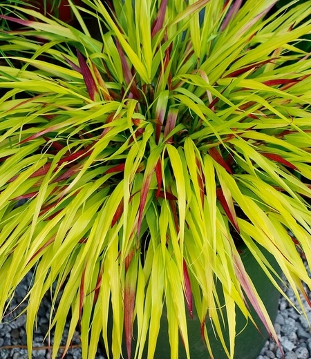 """Japanisches Waldgras """"SunFlare®"""",1 Pflanze"""