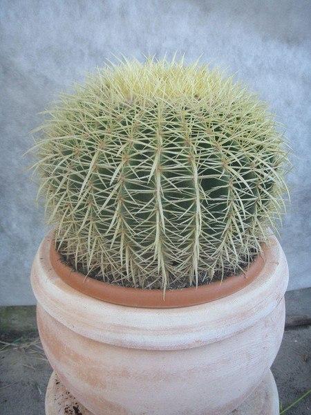 Kaktus (Schwiegermuttersitz, Goldkugelkaktus)