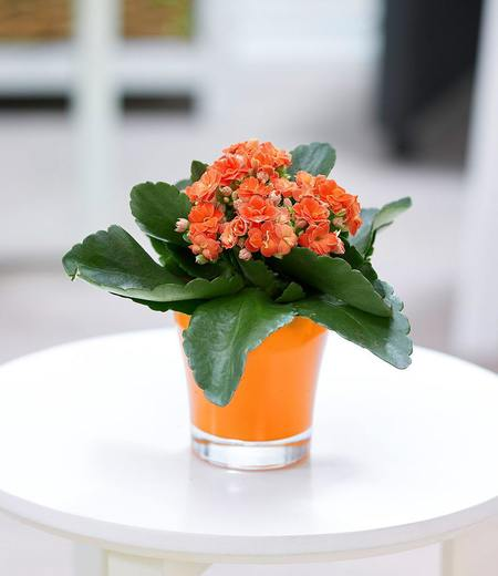 Kalanchoe orange + Teelicht Übertopf orange,1 Set