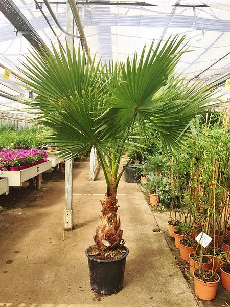 Kalifornische Washingtonpalme (40-50 Stamm)