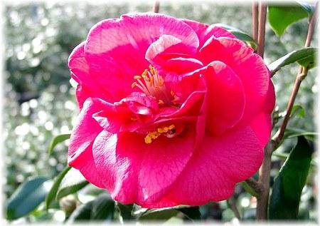 Kamelie Camellia japonica ´Adolphe Audusson`