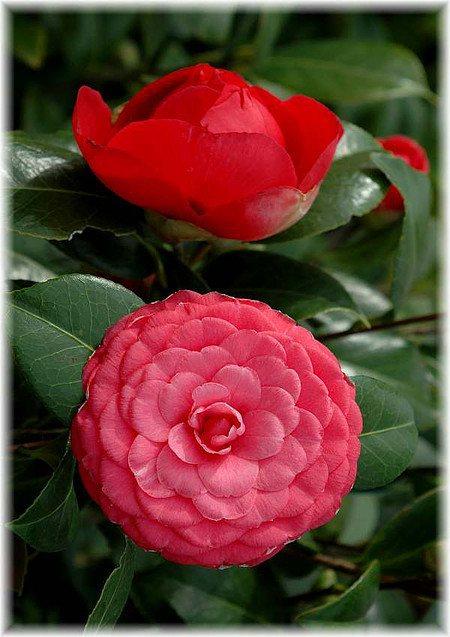 Kamelie Camellia japonica ´Black Lace`