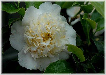 Kamelie Camellia japonica ´Brushfield Yellow`