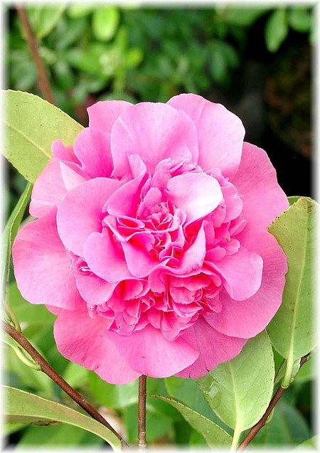 Kamelie Camellia japonica ´Debbie`