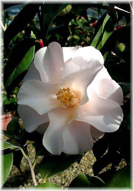 Kamelie Camellia japonica ´Hagoromo`